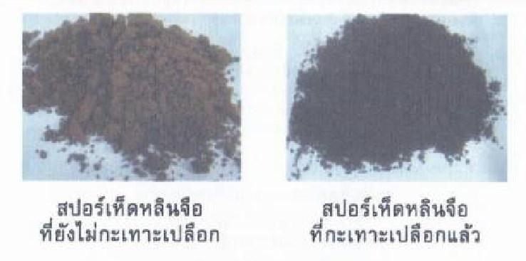 วโรยาสปอร์เห็ดหลินจือแดง-กะเทาะเปลือก-MG-2-สรรพคุณ-โทษ-โครงการ-ผลข้างเคียง
