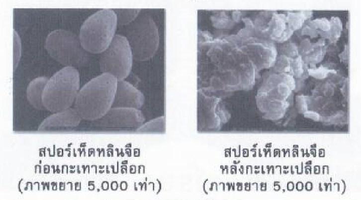 วโรยาสปอร์เห็ดหลินจือแดง-กะเทาะเปลือก-MG2-สรรพคุณ-ประโยชน์-ผลข้างเคียง