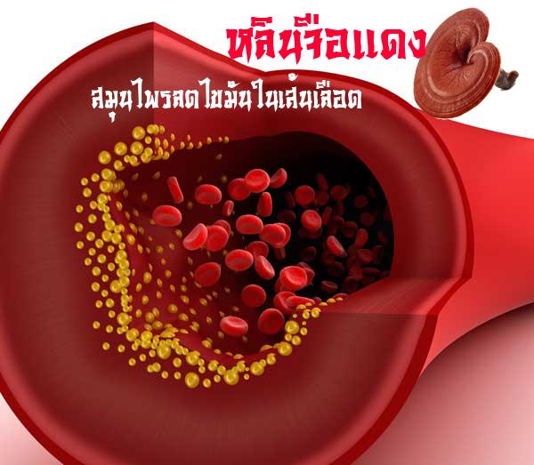 สมุนไพรเห็ดหลินจือแดง สรรพคุณลดไขมันในเส้นเลือด ไม่มีผลข้างเคียง โทษ สปอร์