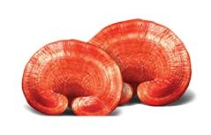 เห็ดหลินจือแดงบำรุงสร้างภูมิคุ้มกัน ยาเสริมเพิ่มภูมิต้านทาน