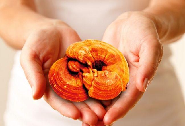 สมุนไพรเห็ดหลินจือแดง ลดไขมันในเส้นหลอดเลือด รักษาโรคความดันโลหิตสูง