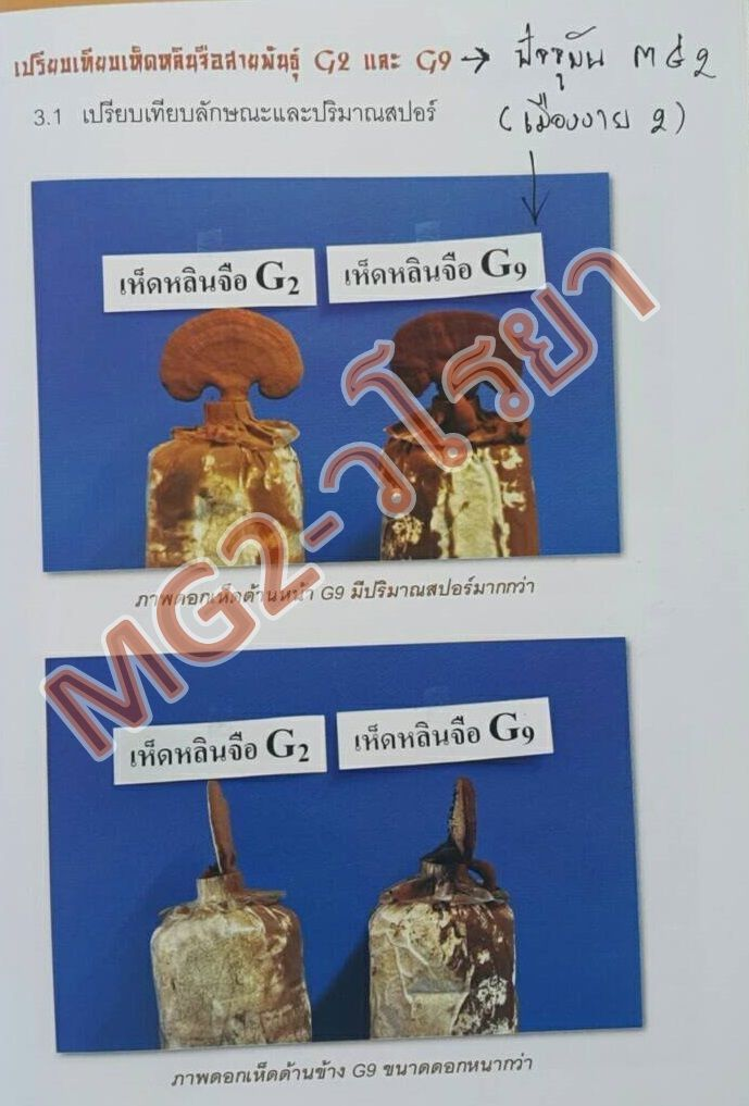 สปอร์เห็ดหลินจือ-MG2-กะเทาะเปลือก-วโรยา