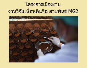 สปอร์เห็ดหลินจือ กะเทาะเปลือก MG2 โครงการเมืองงาย สรรพคุณประโยชน์ดีกว่า หลินจือแดง