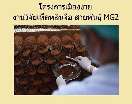 สปอร์เห็ดหลินจือ MG2 โครงการเมืองงาย สรรพคุณประโยชน์ดีกว่า หลินจือแดง